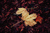 Autumn Remembrance VII. (Zsolt Zsigmond) Tags: yellow leaves autumn fall water drops november closeup leafs
