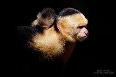 White-faced Monkey (Cebus capucinus) (www.NeotropicPhotoTours.com) Tags: neotropicphototours juancarlosvindas costarica baby motherwithbaby nature corcovado wildlife colorimage landscapemode whiteheadedcapuchin monkey whitefacedcapuchin fur babysleeping outdoors