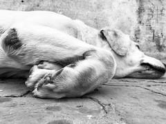 #onceuponatime  #lab #labrador #labsofinstagram #labradorretriever #lablove #dog #dogs #dogstagram #dogscorner #dogsofinstgram #cutedog #dogsofinsta #pet #petlove  #sultan #iphone #iphone7 (mayankscorpion) Tags: sultan iphone iphone7 onceuponatime lab labrador labsofinstagram labradorretriever lablove dog dogs dogstagram dogscorner dogsofinstgram cutedog dogsofinsta pet petlove