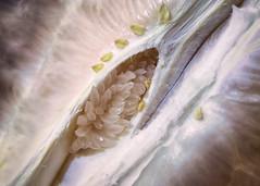 Pomelo (WG's Fotos) Tags: frisch fresh frucht zitrusfrucht macrophotography macro makrofotografie makro citrusfruit pomelo fruit