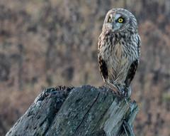 Short-eared Owl   Boundary Bay BC (sunrisesoup) Tags: shortearedowl shorteared owl bc canada boundarybay seo eyes december nikon d810 sigma 150600 winter