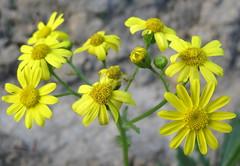 Жовтозілля весняне (Senecio vernalis) (Gansucha) Tags: senecio asteraceae compositae
