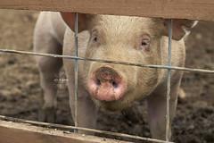(Julie Ann Photos) Tags: julieannphotos canonrebelt5 unangsttreefarm bath pennsylvania