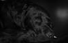 Sleeping hero (sharken14) Tags: animal dog portrait pet labrador black monochrome svartvitt trött sleeping sweden sjövillans ferry sovande nikon d750 hund retriever