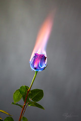 """Burning Flower 7 • <a style=""""font-size:0.8em;"""" href=""""http://www.flickr.com/photos/56830416@N05/38828040911/"""" target=""""_blank"""">View on Flickr</a>"""