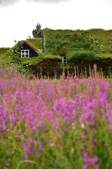 Icelandic Turf House and Field of Purple Flowers 2 (Amaury Laporte) Tags: europe iceland skogar folkmuseum traditional history