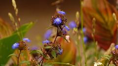 End of Summer -Une fin d'Eté - 4201 (YᗩSᗰIᘉᗴ HᗴᘉS +14 000 000 thx) Tags: summer été season flower flora nature hensyasmine yasminehens color soft