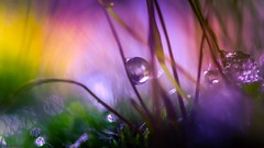 Soft Violet - 4215 (YᗩSᗰIᘉᗴ HᗴᘉS +12 000 000 thx❀) Tags: drop droplet goutte nature macro supermacro color violet yellow perle pearl soft blur hensyasmine yasminehens