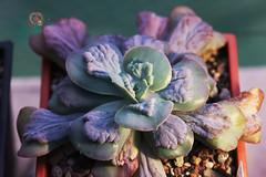 卡密歐 (傲慢與偏見) Tags: succulent sony sigma