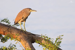 Black-crowned Night-heron - Bihoreau gris - Nycticorax nycticorax