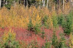 Couleurs d'automne (rejeanjdeschenes) Tags: automne chasse leversoleil lune merledamériqueamericanrobin montlouis