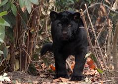 jaguar artis BB2A8950 (j.a.kok) Tags: jaguar jaguarcub jaguarwelp zwartejaguar blackjaguar artis animal zuidamerika southamerica kat cat mammal zoogdier dier predator