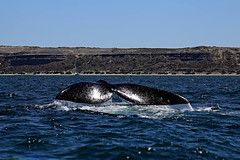 Whale watching (Bloody Nick) Tags: whale tail argentina whalewatching