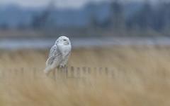 Snowy Owl Bubo scandiacus (AnthonyVanSchoor) Tags: snowy owl bubo scandiacus prime hook nwr nikon d7100 tamron 150600mm delaware birding