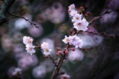 Autumnalis (Tomo M) Tags: ジュウガツザクラ cherry bokeh tamron blur tree nature outdoor 新宿御苑 tokyo