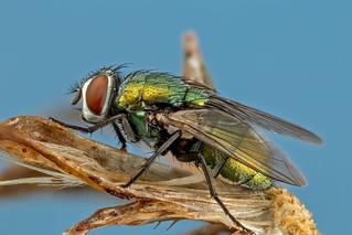 Green Hairy Fly