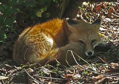 Red Fox (kittykat7) Tags: homasassaspringwildlifestatepark homasassa wildlife stateparks animals birds florida