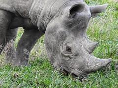 Rhino (Simply Sharon !) Tags: rhino blackrhino rhinoceros savetherhino animal yorkshirewildlifepark