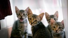 """WE R HAVIN MEETIN. DO U MIND?"" 🐱 (stratman² (busy-taking care of Joey)) Tags: canonphotography eos7dmarkii efs1755mmf28isusm kittens gatito chaton kitteh creativecommons ccbyncnd catmoments flickr elite iso2000 neko kittenmagazine kittyschoice cc100 kittysuperstar notmycat"