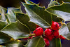 First Sunday of Advent - Merry Christmas! (aparlette) Tags: extensiontube macro winter backyard focusstacking green tree holly color red europeanholly ilexaquifolium elkridge maryland unitedstates us