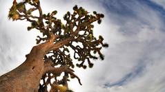 Joshua Tree (William L Giles) Tags: mojavedesert joshuatree california joshuatreenationalpark