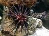 antwerp_7_125 (OurTravelPics.com) Tags: antwerp sea urchin aquarium zoo