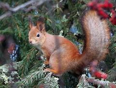 Sciurus vulgaris (Wanha-Erkki, Old Eric, Gammal Erik, Старая) Tags: orava redsquirrel