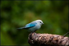 Blue grey tanager (G. Postlethwaite esq.) Tags: arenal costarica lafortuna bird bluegreytanager branch centralamerica rainforest trees wood