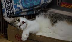 2010_ac_Cat too big and a box too small !! (Wellsman2010) Tags: cat feline female canon 5d mkii 70300 l lens mm kualalumpurmalaysia fn condensed milk amusing funny comical antics