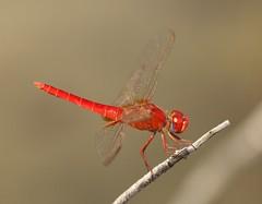 Broad Scarlet (Crocothemis erythraea) Male (Rezamink) Tags: crocothemiserythraea broadscarlet dragonflies odonata uae