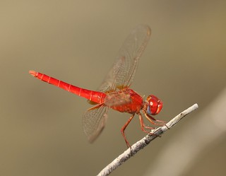 Broad Scarlet (Crocothemis erythraea) Male