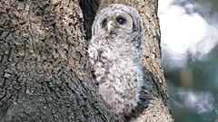 Barred Owlet (photosauraus rex) Tags: bird owl owlet barredowl strixvaria vancouver bc canada