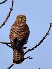 Kestrel - (Falco tinnunculus) - Taken at Titchmarsh Nature Reserve, Aldwincle, Northants. UK (Ian J Hicks) Tags: