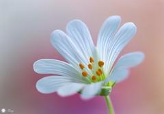 Perfection (Trayc99) Tags: floralart flower flowerphotography petals delicate beautyinnature beautyinmacro beautiful macro closeup wildflower