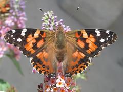 Painted lady (Vanessa cardui) (tigerbeatlefreak) Tags: painted lady vanessa cardui insect butterfly lepidoptera nymphalidae nebraska