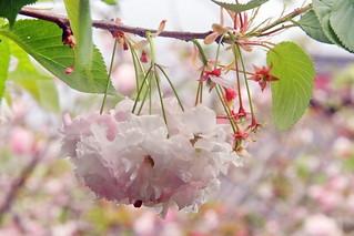 Lanterne de Fleurs de Cerisier du printemps néozélandais