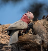 Pink and Grey Galah (m&em2009) Tags: birds pin grey galah feather colours wildlife australia nature bush tree sky nikon