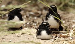The baby willie Wagtails (Griffins Photos) Tags: wag tail black white willie bird australia canon
