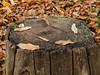 Autumn Tree Stumps-EB160336 (tony.rummery) Tags: autumn autumncolours em10 leaves mft microfourthirds omd olympus stump surrey virginiawater runnymededistrict england unitedkingdom gb