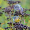 Stocking up. (Omygodtom) Tags: wildlife golden gold goldfinch bird nikkor nikon70300mmvrlens nature nikon natural eating food forest trail park path dof d7100 digital bokeh yellow yahoo green