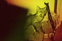 2016-05-14 - Oberwaltersdorf (KarlOplustil) Tags: analog oberwaltersdorf fuchs fox ausgestopft stuffed tier animal wien vienna vienne österreich austria autriche fotografie photography