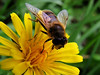 On This Warm November Day (ambrknr) Tags: hover fly bee mimic pollinator dandelion cats ear insect eristalis