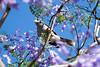 Noisy Miner (Rose Slr) Tags: jacaranda tree branches twigs blossom flower bird noisyminer animal wildlife australia sydney spring closeup portrait