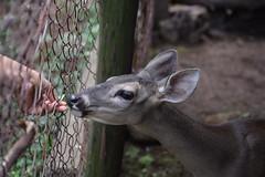 mutual acceptance (TazNoMore) Tags: rural rurallife nicaragua deer animals