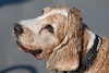 2017 - 11_25 - Animals - Dogs - Squid_Max 06 (stevenlazar) Tags: beach ocean water australia dog outerharbor adelaide sand 2017 southaustralia waves