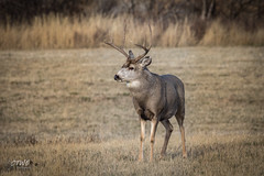 mule deer buck looking left (chasingthewildoutdoors) Tags: chasingthewildoutdoors animals deer elk wapiti yellowstonewildlife antelope bison buffalo montana wyoming canon sigma 7dmkii