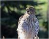The Call of the Wild (Sun~Lover) Tags: hawk coopers backyard illinois raptor call beak