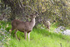 Deer Feast (Katka S.) Tags: usa united states america sequoia national park deer meadow food animal nature green tree