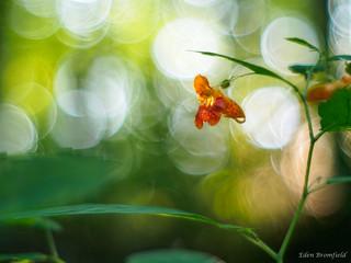 The Orange Jewel: Jewelweed (Impatiens capensis)