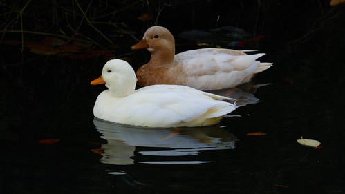 Ducks (unknown species), Priory Park, Great Malvern